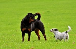 Interesting facts about Rottweiler dogs