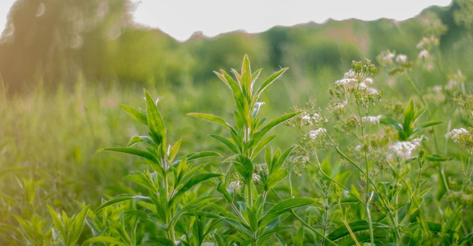 Natural Medicines You Didn't Know Were in Your Garden