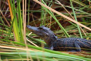 Alligator in the swampy Everglades