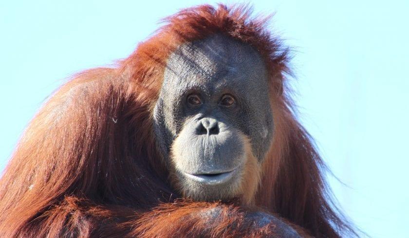 facts about Orangutan