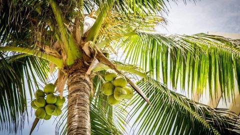 facts about coconuts
