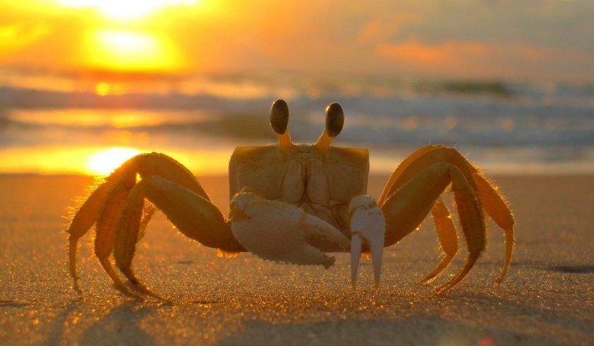 facts about crabs