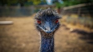 facts about emu