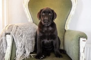 facts about labradors