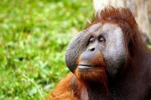 fun facts about Orangutan