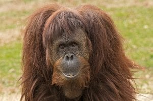 funny facts about Orangutan