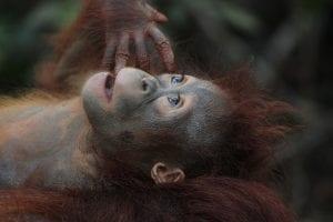 interesting Orangutan facts