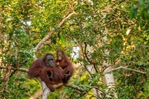 interesting facts about Orangutan