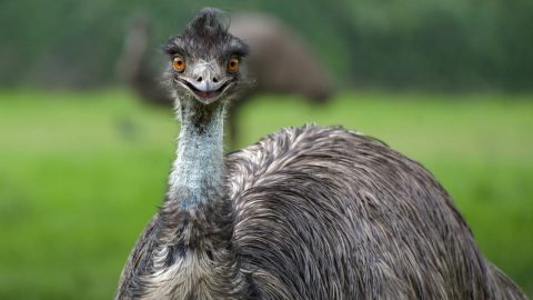 interesting facts about emus
