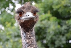 Emu Facts
