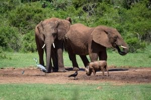 A warthog next to two elephants, showing them to scale