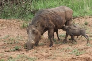 Facts about Warthogs