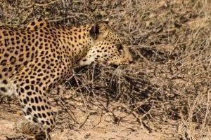 Kalahari Facts