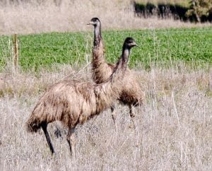 facts about Emus