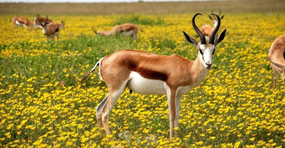 facts about antelope
