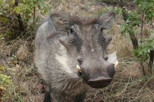 a warthog smiling for the camera