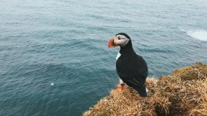 fast facts about puffins