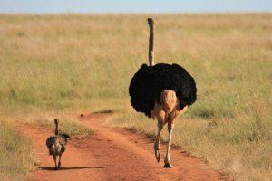 Emu running down the road