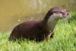 facts about otters
