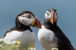interesting facts about Puffins