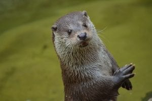 interesting facts about otters