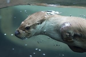 interesting otter facts