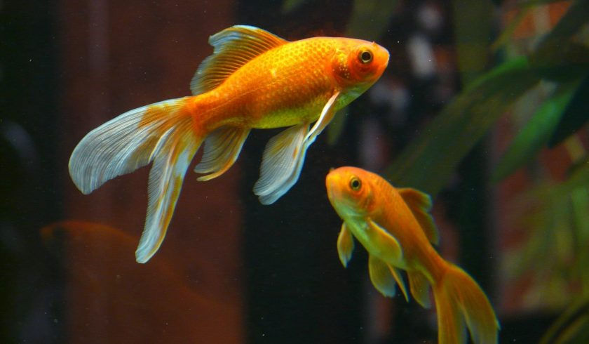 facts about goldfish
