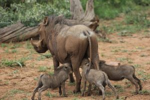 a warthog and her piglets