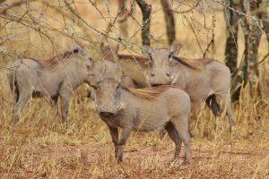 Warthogs in Tanzania