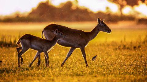 Facts about Gazelles