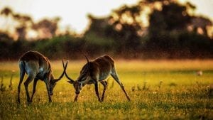 Facts about Gazelles