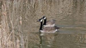 canada goose 4045279 1280