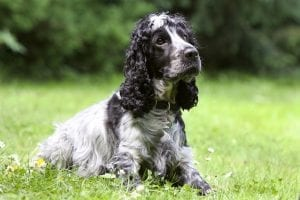 cocker spaniel facts