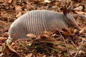 facts about armadillos