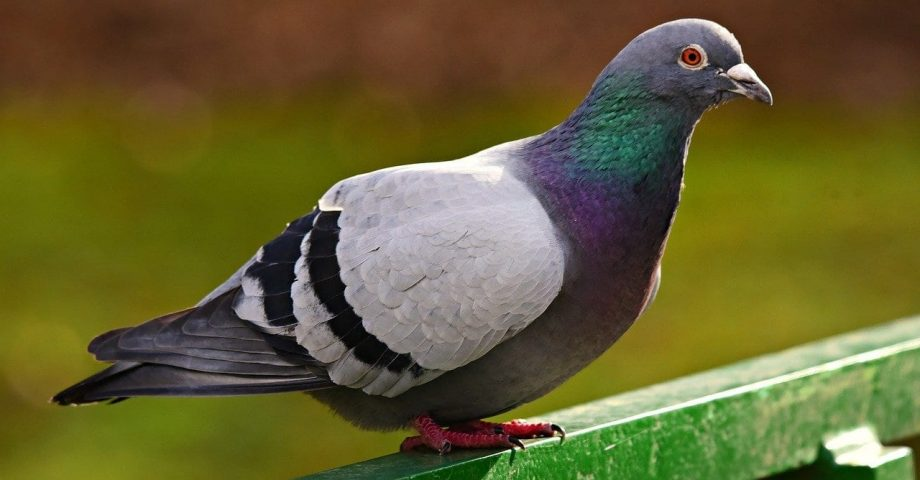 facts about pigeons
