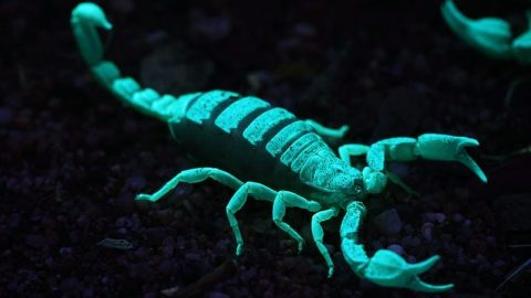 facts about scorpions