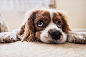 facts about spaniels