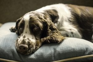facts about springer spaniels