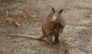 fun facts about armadillos