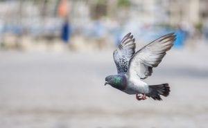 fun pigeon facts