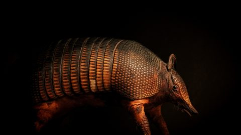 interesting facts about armadillo