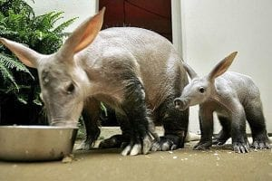 fun facts about Aardvarks