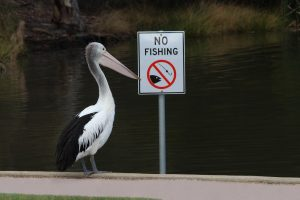 Pelican fishing next to a no fishing notice in Sydney