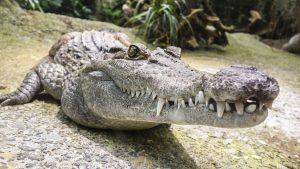 Crocodile up close!