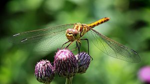 Dragonfly landed on a flower head