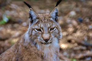 a lynx in the Ural Mountains
