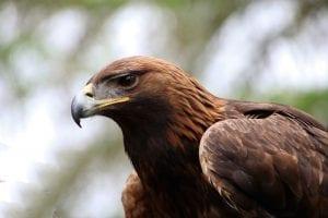 Fun Eagle Facts