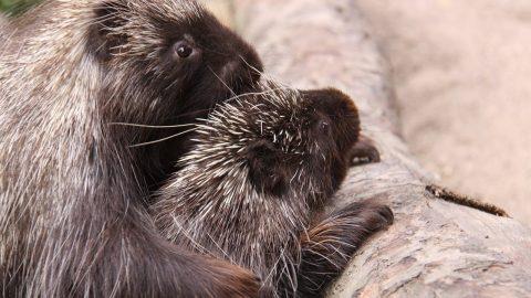 Fun Porcupine Facts