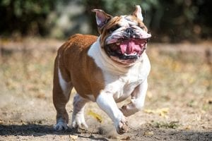 Interesting facts about British Bulldogs