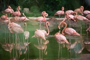 facts about flamingos